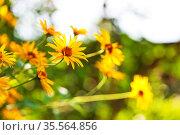 Желтые цветы. Стоковое фото, фотограф Лисовская Наталья / Фотобанк Лори