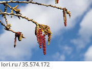 Ветки цветущей ольхи на фоне неба. Стоковое фото, фотограф Петрова Ольга / Фотобанк Лори