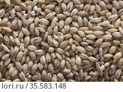 Close-up of background of dry barley groats, nobody. Стоковое фото, фотограф Яков Филимонов / Фотобанк Лори