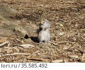 Portrait of Gray squirrel, arboreal rodent. Стоковое фото, фотограф Валерия Попова / Фотобанк Лори