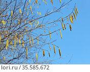 Сережки лещины обыкновенной  (Corylus avellana  (L.) H.Karst.) на фоне голубого неба. Стоковое фото, фотограф Ирина Борсученко / Фотобанк Лори