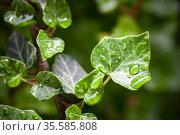 Natural background photo with green leaves and water drops. Стоковое фото, фотограф EugeneSergeev / Фотобанк Лори