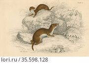 Weasel (Putorius nivalis/Mustela vulgaris) the smallest European ... Редакционное фото, агентство World History Archive / Фотобанк Лори