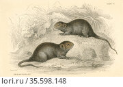 Water Vole (Arvicola terrestris), also known as the Black Water Rat... Редакционное фото, агентство World History Archive / Фотобанк Лори