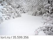Fragment of a forest edge after a heavy snowfall. Стоковое фото, фотограф Володина Ольга / Фотобанк Лори