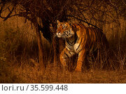 Bengal tiger (Panthera tigris) male, called Pi Ranthambhore, India. Стоковое фото, фотограф Andy Rouse / Nature Picture Library / Фотобанк Лори