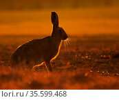European hare (Lepus europaeus) at sunrise, UK. September. Стоковое фото, фотограф Andy Rouse / Nature Picture Library / Фотобанк Лори