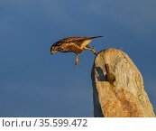 Common buzzard (Buteo buteo) jumping from rock UK. November. Стоковое фото, фотограф Andy Rouse / Nature Picture Library / Фотобанк Лори