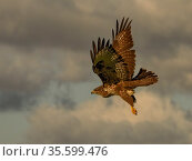 Common buzzard (Buteo buteo) flying, UK. November. Стоковое фото, фотограф Andy Rouse / Nature Picture Library / Фотобанк Лори