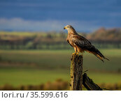 Red kite (Milvus milvus) perched on a fence post, UK. November. Стоковое фото, фотограф Andy Rouse / Nature Picture Library / Фотобанк Лори