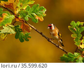Goldfinch (Carduelis carduelis) perching on an oak branch, Wales, UK. November. Стоковое фото, фотограф Andy Rouse / Nature Picture Library / Фотобанк Лори