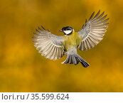 Great tit (Parus major) in flight with wings wide open, viewed from behind, Wales, UK. November. Стоковое фото, фотограф Andy Rouse / Nature Picture Library / Фотобанк Лори