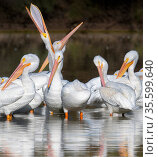 American white pelicans (Pelecanus erythrorhynchos) preening, wintering at Riparian Preserve, Gilbert, Arizona, USA. November. Стоковое фото, фотограф Jack Dykinga / Nature Picture Library / Фотобанк Лори