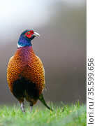Pheasant (Phasianus colchicus), male portrait, looking to the side, Wychbold, Worcesterhire, UK. February. Стоковое фото, фотограф David Pike / Nature Picture Library / Фотобанк Лори