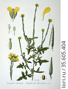 Hedge Mustard (Sisymbrium officinale)  a weed of arable and  wasteland... Редакционное фото, агентство World History Archive / Фотобанк Лори