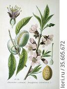 Common or Sweet Almond ( Amygdalus commonus or Prunus Dulcis) small... Редакционное фото, агентство World History Archive / Фотобанк Лори