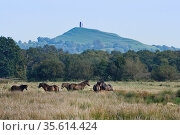 Exmoor ponies (Equus caballus) grazing marshy pastureland with Glastonbury Tor in the background, Catcott Lows National Nature Reserve, Somerset, UK, September. Стоковое фото, фотограф Nick Upton / Nature Picture Library / Фотобанк Лори