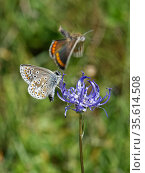 Brown argus (Aricia agestis) male courting a female by flying around a female as she nectars on a Round-headed rampion (Phyteuma orbiculare) flower on... Стоковое фото, фотограф Nick Upton / Nature Picture Library / Фотобанк Лори