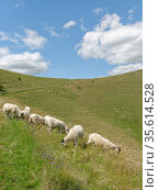 Domestic sheep (Ovis aries) grazing chalk grassland slope, Pewsey Downs, Wiltshire, UK, July. Стоковое фото, фотограф Nick Upton / Nature Picture Library / Фотобанк Лори