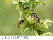 Saxon wasp (Dolichovespula saxonica) with a pollinia on its head nectaring from a Broad-leaved helleborine (Epipactis helleborine) flower on a woodland... Стоковое фото, фотограф Nick Upton / Nature Picture Library / Фотобанк Лори