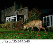 Roe deer (Capreolus capreolus) buck crossing a garden lawn at night near a house, Wiltshire, UK, November. Property released. Стоковое фото, фотограф Nick Upton / Nature Picture Library / Фотобанк Лори