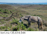 Welsh mountain pony (Equus caballus) grazing Godlingston Heath with Poole Harbour and the English Channel in the background, Devon, UK, July. Стоковое фото, фотограф Nick Upton / Nature Picture Library / Фотобанк Лори