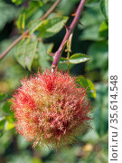 Robin's pincushion gall caused by the Bedeguar gall wasp (Diplolepis rosae) on Dog rose (Rosa canina) stem in a hedgerow, Wiltshire, UK, September. Стоковое фото, фотограф Nick Upton / Nature Picture Library / Фотобанк Лори