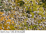 Pink footed geese (Anser brachyrhynchus) flock taking flight, near Udale Bay, Black Isle, Scotland, UK, October. Стоковое фото, фотограф Nick Garbutt / Nature Picture Library / Фотобанк Лори