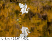 Snowy egret (Egretta thula) taking off from the Riparian Reserve pond, with autumn reflections of yellow ash tree on the water. Gilbert Riparian Preserve, Gilbert, Arizona, USA. December. Стоковое фото, фотограф Jack Dykinga / Nature Picture Library / Фотобанк Лори