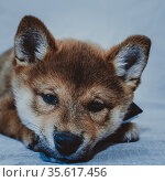 Portrait of a shiba inu puppy close-up. Стоковое фото, фотограф Михаил Панфилов / Фотобанк Лори
