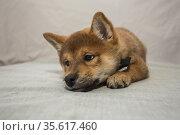 Shiba inu puppy lies and looks away. Стоковое фото, фотограф Михаил Панфилов / Фотобанк Лори