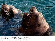 Wild Steller Sea Lion or Northern Sea Lion Eumetopias Jubatus with... Стоковое фото, фотограф Zoonar.com/Alexander A. Piragis / age Fotostock / Фотобанк Лори