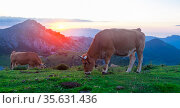 Asturian Mountain cattle cow sits on the lawn in a national park among the mountains at sunset. Стоковое фото, фотограф Татьяна Яцевич / Фотобанк Лори