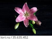 Pink, delicate, decorative lily (Lilium) with buds close-up. Стоковое фото, фотограф Татьяна Ляпи / Фотобанк Лори