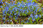 First spring flowers. Scilla siberica, Siberian squill or wood squill, species of flowering plant in family Asparagaceae. Стоковое фото, фотограф Валерия Попова / Фотобанк Лори