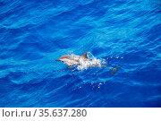Ein kleiner delfin springt im meer aus dem wasser. Стоковое фото, фотограф Zoonar.com/thomas eder / age Fotostock / Фотобанк Лори