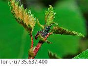 Viele blattlaeuse auf einem ast mit einer ameise im fruehling. Стоковое фото, фотограф Zoonar.com/thomas eder / age Fotostock / Фотобанк Лори