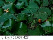 Kleiner gruener frosch sitzt auf blaettern im teich. Стоковое фото, фотограф Zoonar.com/thomas eder / age Fotostock / Фотобанк Лори