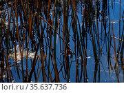 Teich mit viel schilf mit spiegelung des blauen himmels im sommer. Стоковое фото, фотограф Zoonar.com/thomas eder / age Fotostock / Фотобанк Лори
