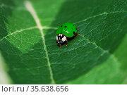 Kleiner gruener marienkaefer sitzt auf einem grossen gruenen blatt... Стоковое фото, фотограф Zoonar.com/thomas eder / age Fotostock / Фотобанк Лори