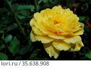 Grosse schoene aufgebluehte blume rose mit tropfen nach regen. Стоковое фото, фотограф Zoonar.com/thomas eder / age Fotostock / Фотобанк Лори