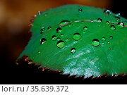Viele grosse und kleine regentropfen auf einem blatt grossansicht. Стоковое фото, фотограф Zoonar.com/thomas eder / age Fotostock / Фотобанк Лори