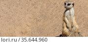 A sitting meerkat is vigilant. Panoramic format. Стоковое фото, фотограф Zoonar.com/DesignIt / easy Fotostock / Фотобанк Лори