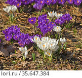 First spring flowers. Crocus vernus (Spring Crocus, Giant Crocus) in sunny day in sprind. Стоковое фото, фотограф Валерия Попова / Фотобанк Лори