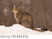 Wild cat (Felis silvestris) sitting in snow, Cantabrian Mountains, Spain. January. Стоковое фото, фотограф Eduardo Blanco / Nature Picture Library / Фотобанк Лори