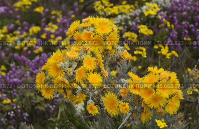 Flora of Gran Canaria - Sonchus acaulis, sow thistle endemic to central Canary Islands natural macro floral background