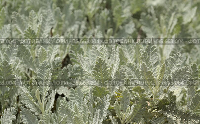 Flora of Gran Canaria - Tanacetum ptarmiciflorum, silver tansy, plant endemic to the island, attractive leaves natural macro floral background