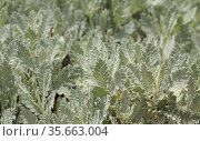 Flora of Gran Canaria - Tanacetum ptarmiciflorum, silver tansy, plant endemic to the island, attractive leaves natural macro floral background. Стоковое фото, фотограф Tamara Kulikova / Фотобанк Лори