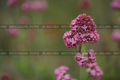 Flora of Gran Canaria - Centranthus ruber, red valerian, invasive in Canaries natural macro floral background