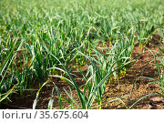 Plantation of organically grown garlic. Стоковое фото, фотограф Яков Филимонов / Фотобанк Лори